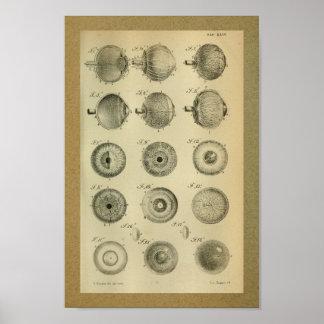 1850 Vintage Anatomie-Druck-Augen-Muskeln Poster