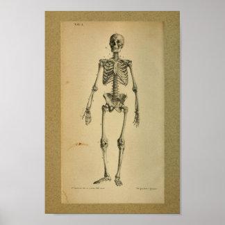 1850 Vintages Anatomie-Druck-Skelett Poster