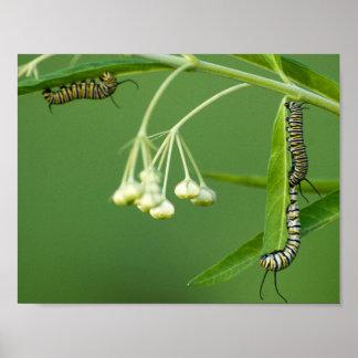 3 Monarch-Raupen auf Milkweed Poster