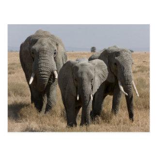 African Elephant Family Postkarte