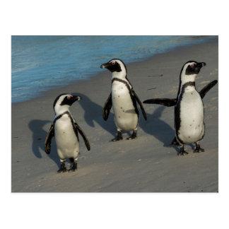Afrikanischer Pinguine| Spheniscus Demersus Postkarte