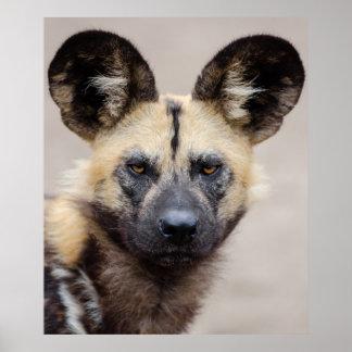 Afrikanischer wilder Hund Poster