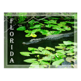 Alligator in den Sumpfgebieten Nationalpark, Postkarte
