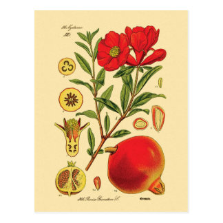 Alte Granatapfel-Illustration Postkarten