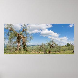 Alte Olivenbäume in einer Landschaft in Toskana Poster