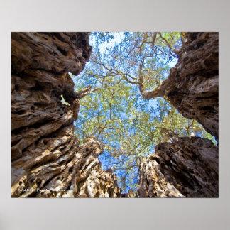 Alter Olivenbaum, Zypern Poster