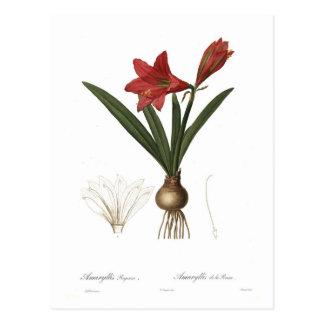 Amaryllis reginae postkarte