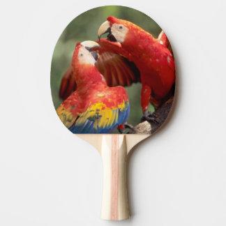 Amazonas, Brasilien. Paare Scharlachrot der Tischtennis Schläger