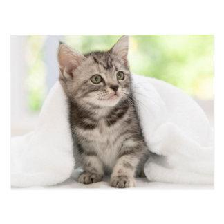 American shorthair kitten postkarte