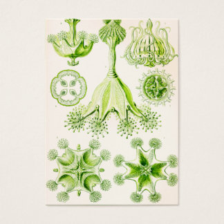 Angepirschte Quallen Ernst Haeckels Stauromedusae Jumbo-Visitenkarten