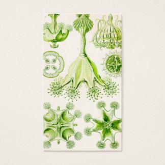 Angepirschte Quallen Ernst Haeckels Stauromedusae Visitenkarten