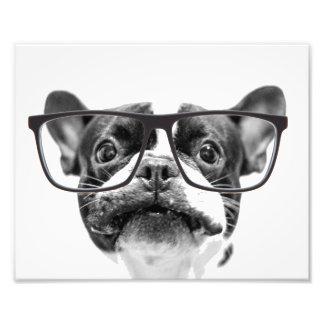 Angesehene französische Bulldogge mit Gläsern Photographischer Druck