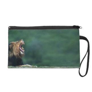 Ansicht eines Löwes (Panthera Löwe) seinen Mund öf