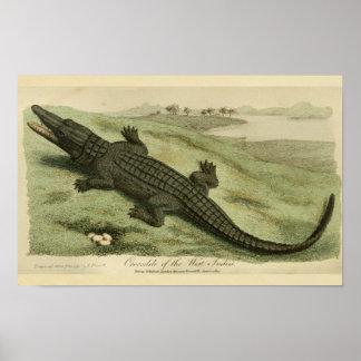 Antillen-Krokodil-Naturgeschichte-Druck Poster