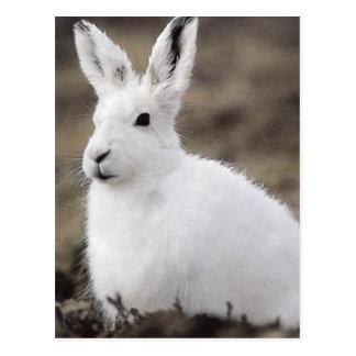 Arktische Hasen Postkarte