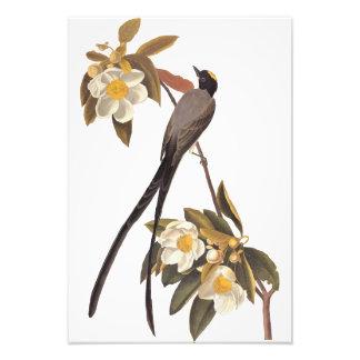 Audubon Gabel-Band Flycatcher-Vogel-Vintage Kunst Fotodrucke
