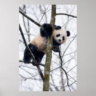 Baby-Panda im Baum Poster