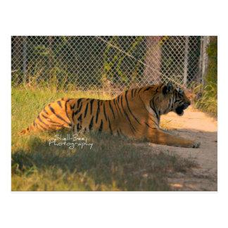 Bengalische Tiger-Postkarte Postkarte