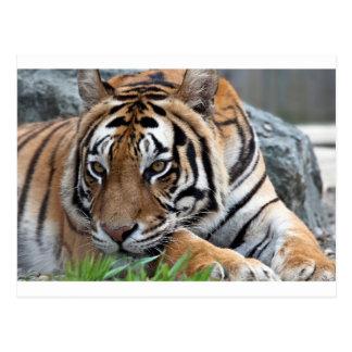 Bengalischer Tiger im Gras Postkarte