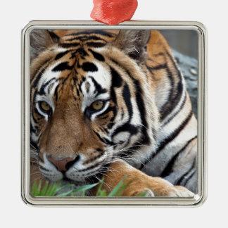 Bengalischer Tiger im Gras Quadratisches Silberfarbenes Ornament