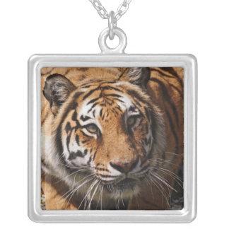 Bengalischer Tiger, Panthera der Tigris 3 Versilberte Kette
