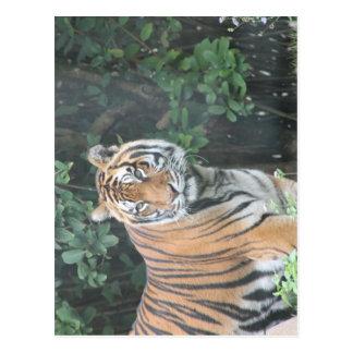 Bengalischer Tiger (Panthera der Tigris der Postkarte