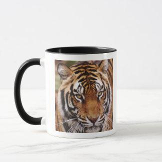 Bengalischer Tiger, Panthera der Tigris Tasse