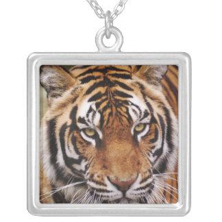 Bengalischer Tiger, Panthera der Tigris Versilberte Kette