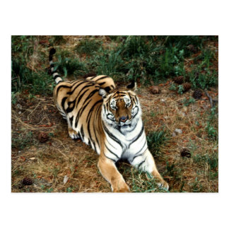 Bengalischer Tiger Postkarten