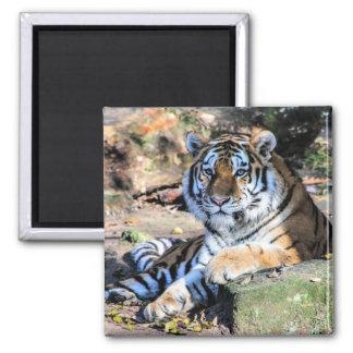 Bengalischer Tiger Quadratischer Magnet