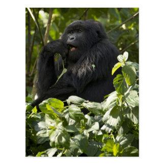 Berggorilla, blackback, essend postkarte