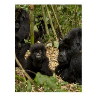 Berggorilla, Erwachsener mit Jungen 2 Postkarte