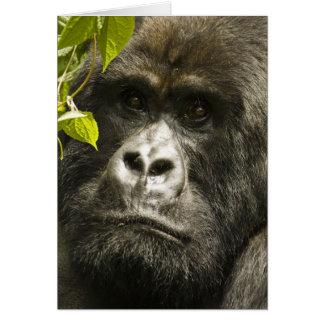 Berggorilla, Gorilla beringei beringei, Karte