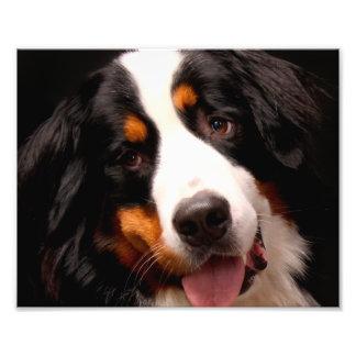 Bernese Gebirgshund Fotografischer Druck