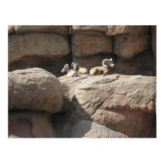 Big Horn-Schafe in Arizona Postkarte