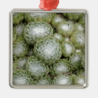 Blätter eines Spinnennetzhausporrees, Sempervivum Quadratisches Silberfarbenes Ornament