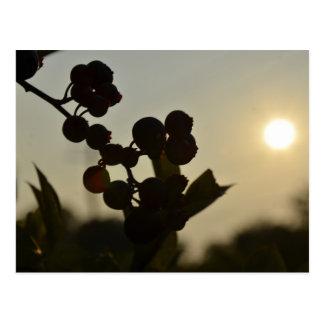 Blaubeeren am Sonnenuntergang Postkarte