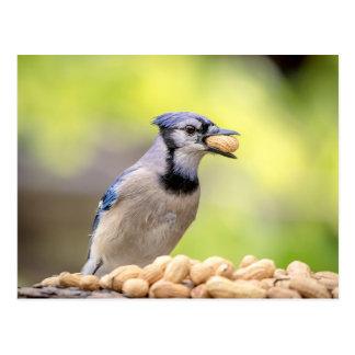 Blaues Jay mit einer Erdnuss Postkarte