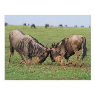 Blaues Wildebeest (Connochaetes Taurinus) Rutting Postkarte