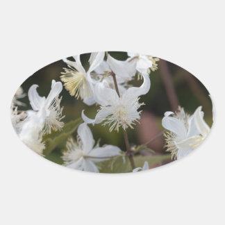 Blumen der Reisend-Freude (Clematis brachiata) Ovaler Aufkleber
