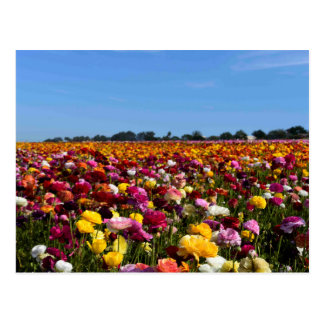 Blumenfelder in Kalifornien Postkarte