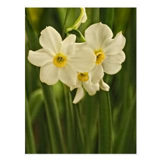 Blumenphotographie:  Weiße Frühlings-Narzisse Postkarte
