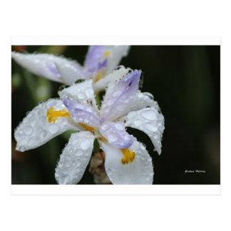 Blumenregen Drop.jpg Postkarte