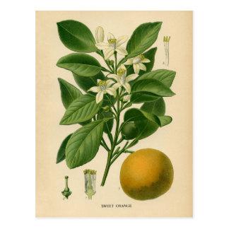 Botanischer Druck - Süßorange Postkarte