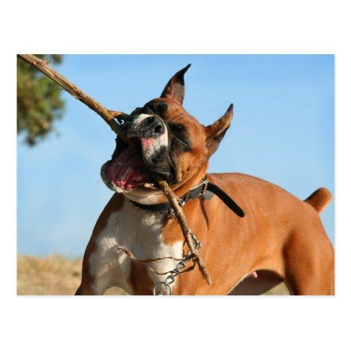 Boxer, der Postkarte spielt