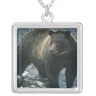 Braunbär, Ursus arctos), Lachse jagend, Versilberte Kette