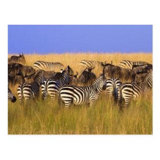 Burchells Zebras und Wildebeest im hohen Sommer Postkarte