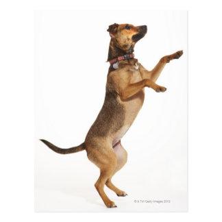 Canis familiaris 2 postkarte