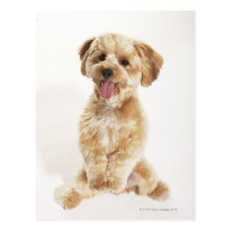 Canis familiaris postkarte
