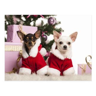 Chihuahua, der einen WeihnachtsAnzug sitzt und Postkarten